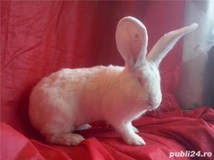 Vand iepuri urias alb - imagine 3
