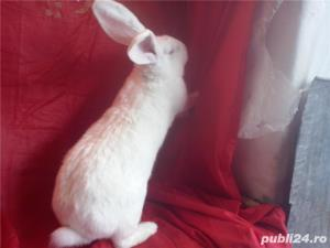 Vand iepuri Urias German gri si alb. - imagine 17