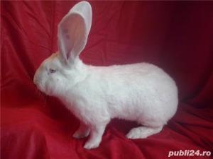 Vand iepuri Urias German gri si alb. - imagine 16