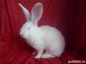 Vand iepuri Urias German gri si alb. - imagine 20
