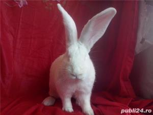 Vand iepuri urias alb - imagine 5