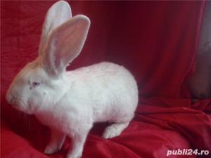 Vand iepuri urias alb - imagine 6