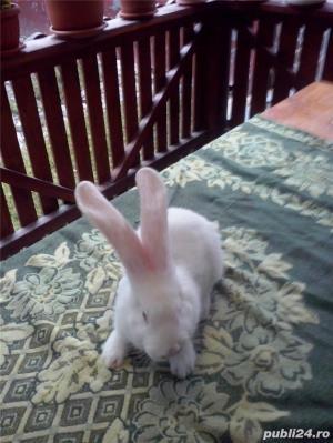 Vand iepuri urias alb - imagine 8