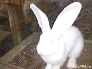 Vand iepuri urias alb - imagine 10