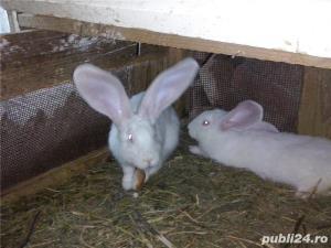 Vand iepuri urias alb - imagine 9