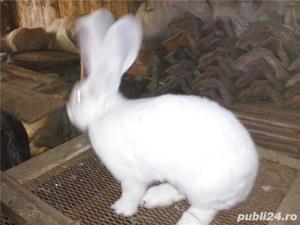 Vand iepuri urias alb - imagine 11