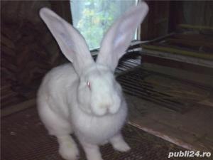 Vand iepuri urias alb - imagine 12