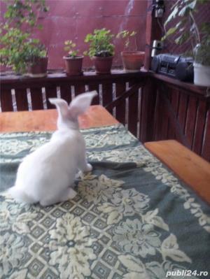 Vand iepuri urias alb - imagine 17