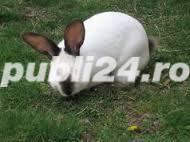 Vand iepuri rasa Neozeelandez Alb si Urias de Transilvania - imagine 2