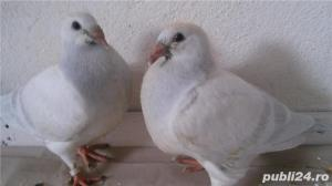 Porumbei voiajori standard de vanzare - imagine 11