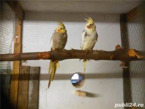alexandar mare si mic rosella, penanti nimfe papagal de munte - imagine 5