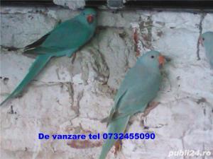 alexandar mare si mic rosella, penanti nimfe papagal de munte - imagine 6