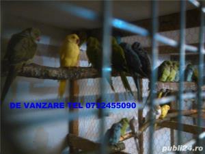 alexandar mare si mic rosella, penanti nimfe papagal de munte - imagine 8