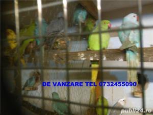 alexandar mare si mic rosella, penanti nimfe papagal de munte - imagine 9