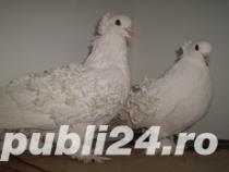 Vand  porumbei de frumusete mai multe rase - imagine 1