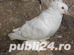 Vand  porumbei de frumusete mai multe rase - imagine 2