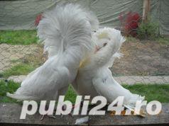 Vand  porumbei de frumusete mai multe rase - imagine 3