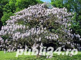 seminte de paulownia si seminte de leustean - imagine 3