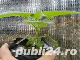 seminte de paulownia si seminte de leustean - imagine 2