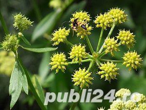 seminte de paulownia si seminte de leustean - imagine 5