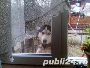 Mascul Husky siberian - pentru monta - imagine 1