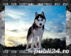 Mascul Husky siberian - pentru monta - imagine 8