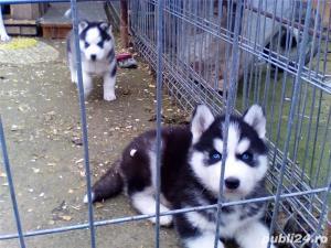 Mascul Husky siberian - pentru monta - imagine 3