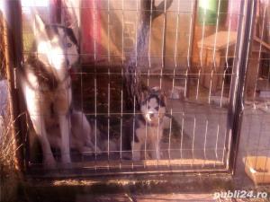 Mascul Husky siberian - pentru monta - imagine 2