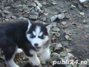 Mascul Husky siberian - pentru monta - imagine 5