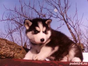 Mascul Husky siberian - pentru monta - imagine 10