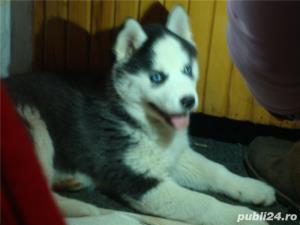 Mascul Husky siberian - pentru monta - imagine 9