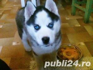 Mascul Husky siberian - pentru monta - imagine 7