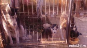 Mascul Husky siberian - pentru monta - imagine 11