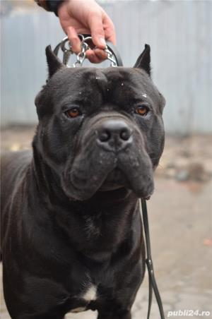 Mascul cane corso - Monta - imagine 3
