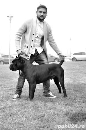 Mascul cane corso - Monta - imagine 4