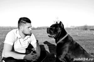 Mascul cane corso - Monta - imagine 5