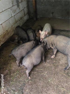 Porci vietnamezi  Olt - imagine 4
