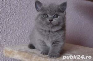 British Shorthair Blue - Livrare in Orice Oras - imagine 5