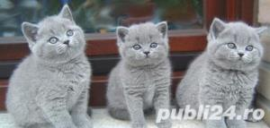 British Shorthair Blue - Livrare in Orice Oras - imagine 4