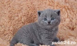 British Shorthair Blue - Livrare in Orice Oras - imagine 7