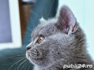 British Shorthair Blue - Livrare in Orice Oras - imagine 10