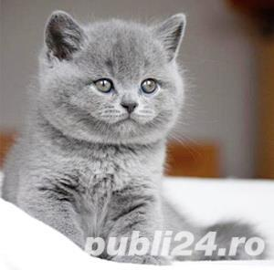 British Shorthair Blue - Livrare in Orice Oras - imagine 1