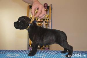 Staffordshire Bull Terrier - imagine 4