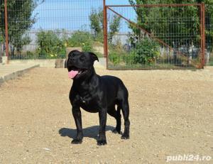 Staffordshire Bull Terrier - imagine 2