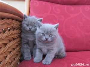 British Shorthair Blue - Livrare in Orice Oras - imagine 3