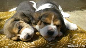 Vand caini beagle bucuresti iasi oradea constanta brasov - imagine 2