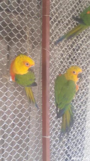 alexandar mare si mic rosella, penanti nimfe papagal de munte - imagine 10