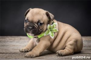 bulldog francez - imagine 1