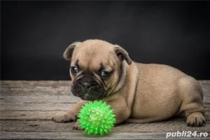 bulldog francez - imagine 2