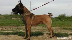 Monta Ciobanesc Belgian Malinois - imagine 1